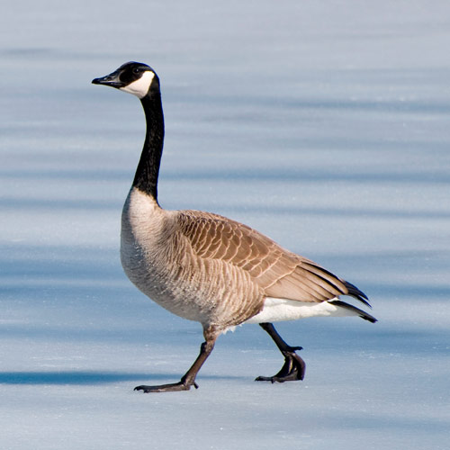 Animals answer: CANADA GOOSE