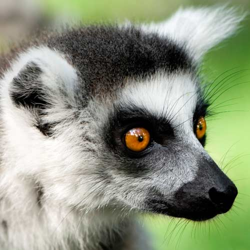 Animals answer: LEMUR
