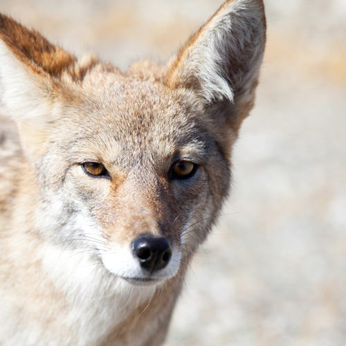 Animals answer: COYOTE
