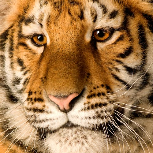 Animals answer: TIGER