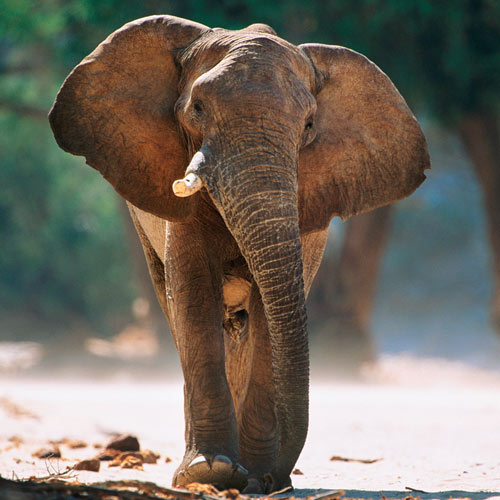 Animals answer: ELEPHANT