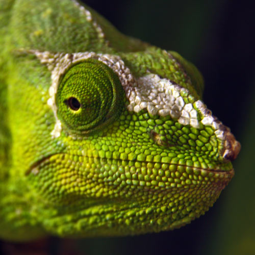 Animals answer: CHAMELEON