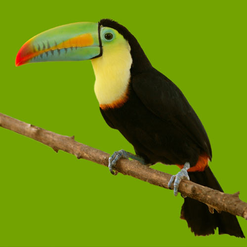 Animals answer: TOUCAN