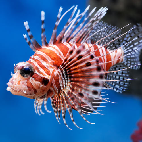 Animals answer: LIONFISH
