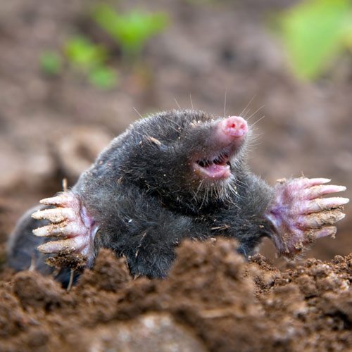 Animals answer: MOLE