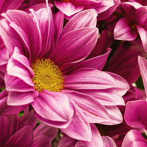 Autumn answer: CHRYSANTHEMUMS