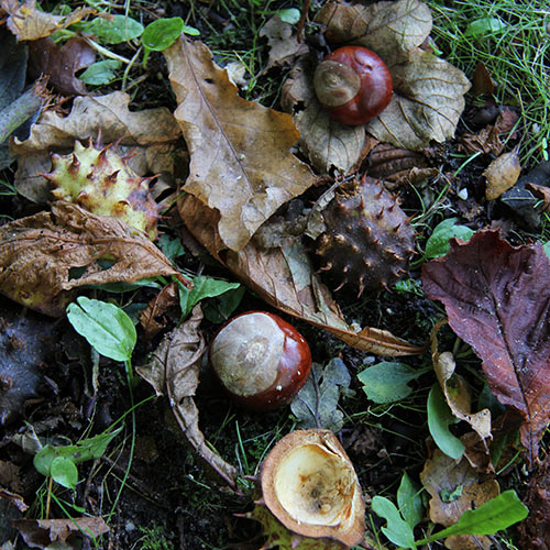 Autumn answer: CONKERS