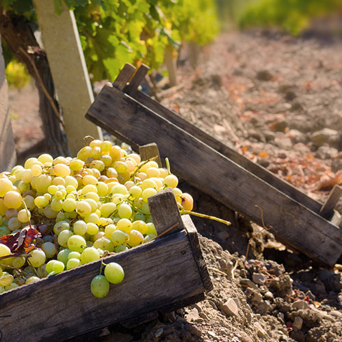 Autumn answer: GRAPES