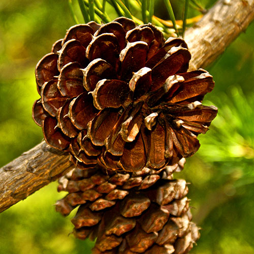 Autumn answer: PINE CONES
