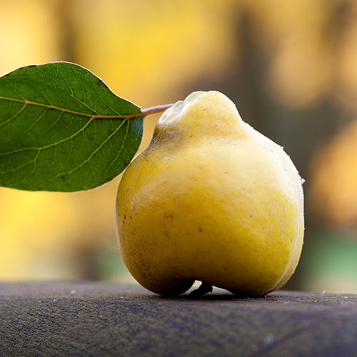 Autumn answer: QUINCE