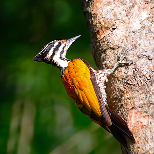 Autumn answer: WOODPECKER