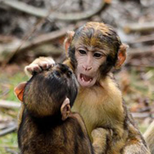 Baby Animals answer: MACAQUES