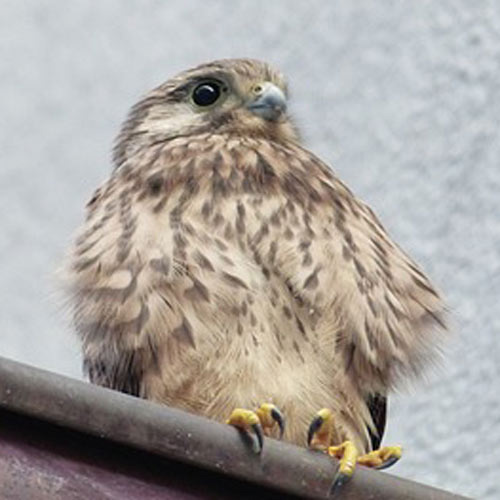 Baby Animals answer: FALCON