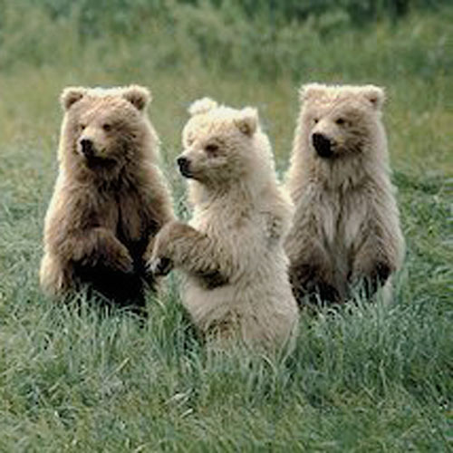 Baby Animals answer: GRIZZLY BEARS
