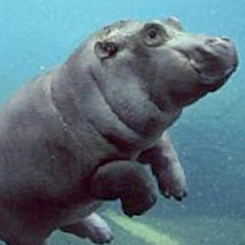 Baby Animals answer: HIPPO