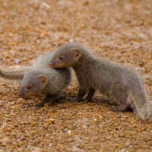 Baby Animals answer: MONGOOSES