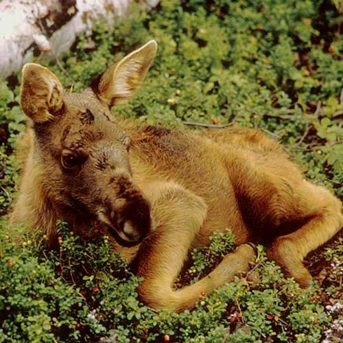 Baby Animals answer: MOOSE