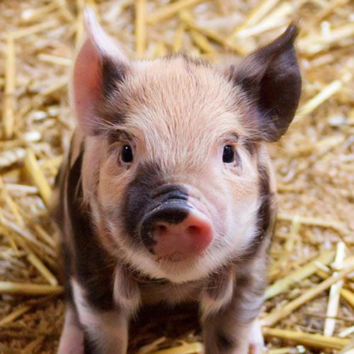 Baby Animals answer: PIG