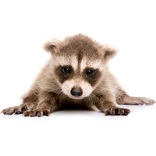 Baby Animals answer: RACCOON