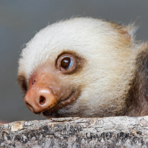 Baby Animals answer: SLOTH