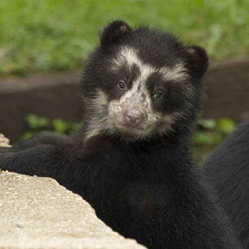 Baby Animals answer: SPECTACLED BEAR