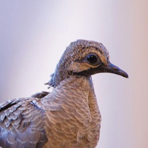 Baby Animals answer: DOVE