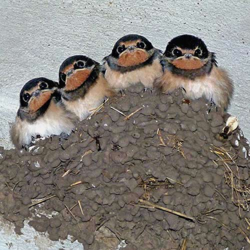 Baby Animals answer: SWALLOWS