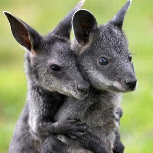Baby Animals answer: WALLABIES
