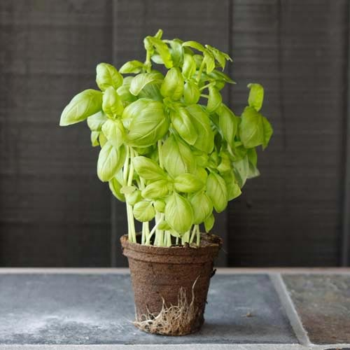 B is for... answer: BASIL