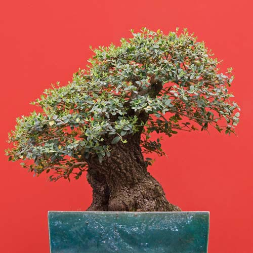 B is for... answer: BONSAI