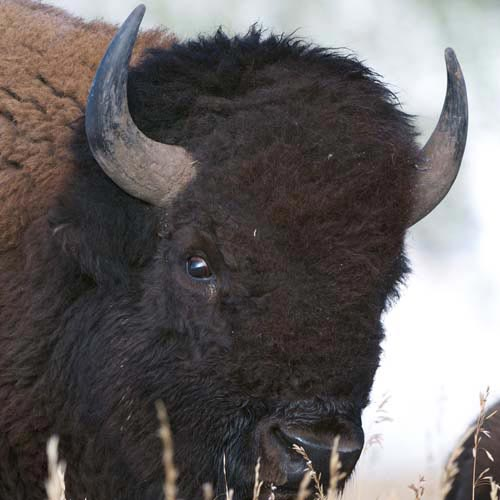 B is for... answer: BISON