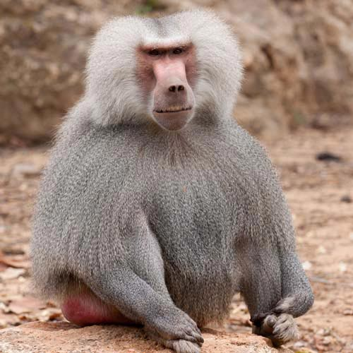 B is for... answer: BABOON