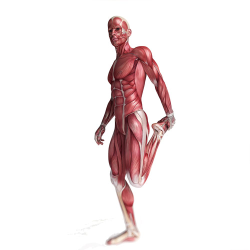 Body Parts answer: MUSCLES