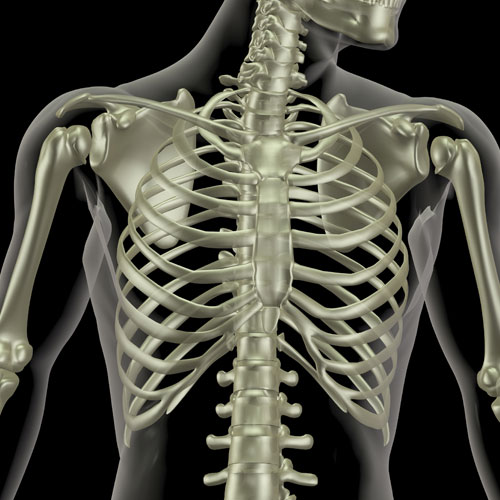 Body Parts answer: RIB CAGE
