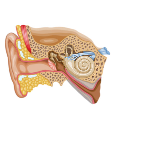 Body Parts answer: COCHLEA