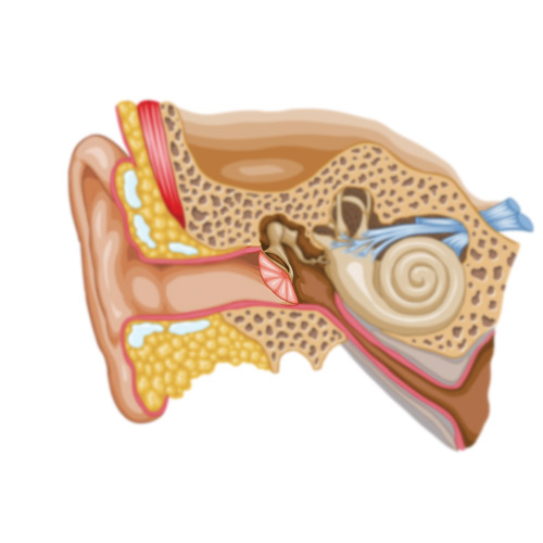 Body Parts answer: EARDRUM