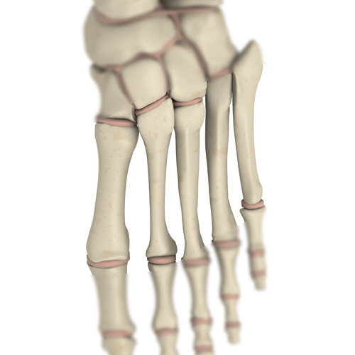 Body Parts answer: METATARSAL