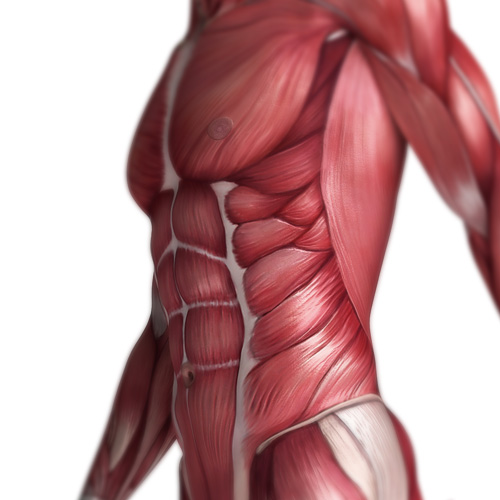 Body Parts answer: OBLIQUES