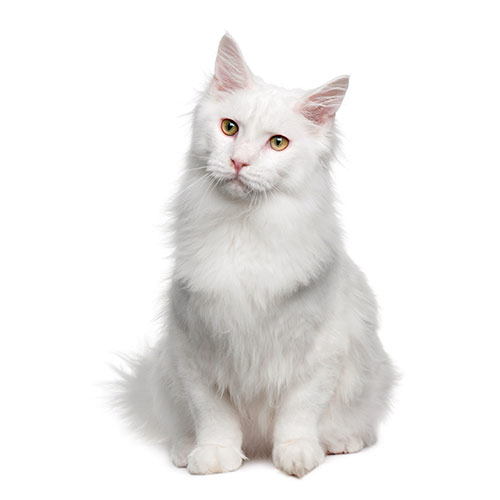 Cats answer: ANGORA