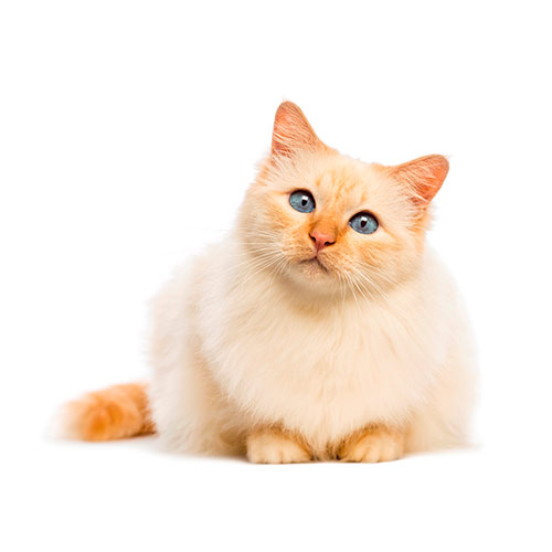 Cats answer: BIRMAN