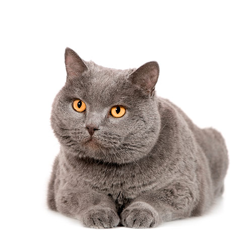 Cats answer: CHARTREUX