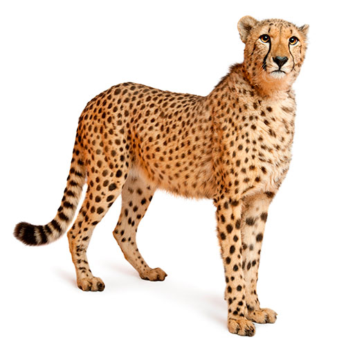 Cats answer: CHEETAH