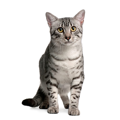 Cats answer: EGYPTIAN MAU