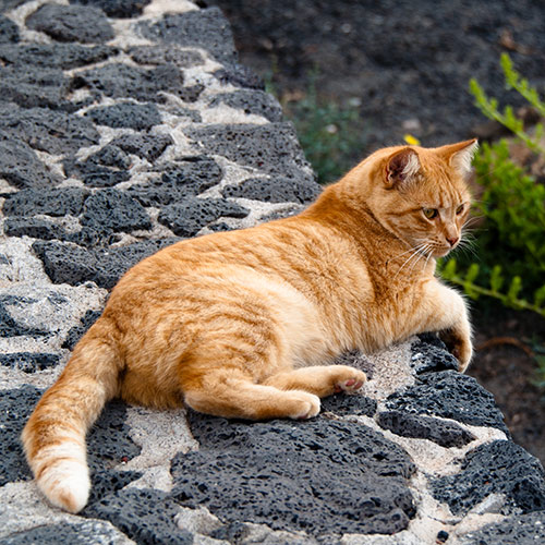Cats answer: GINGER CAT