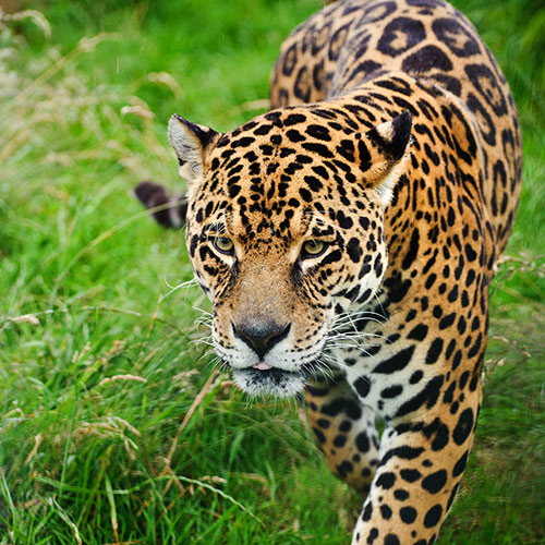 Cats answer: JAGUAR