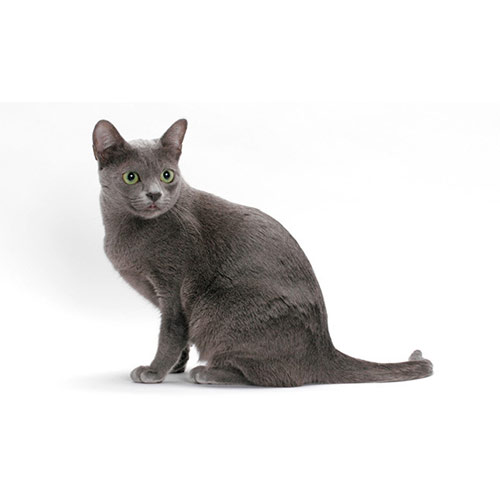 Cats answer: KORAT