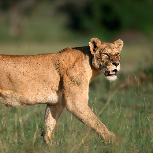 Cats answer: LIONESS