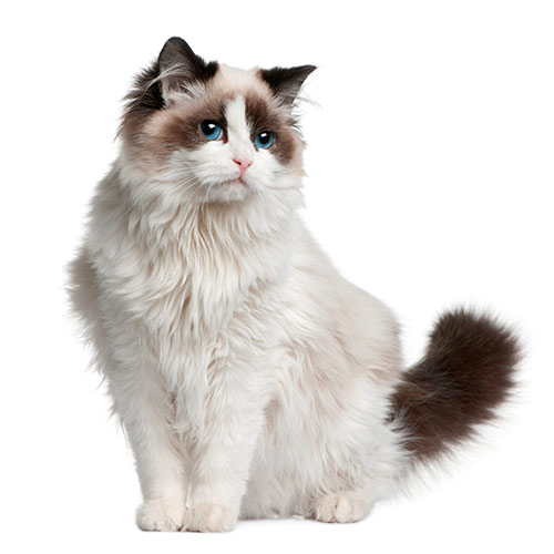 Cats answer: RAGDOLL