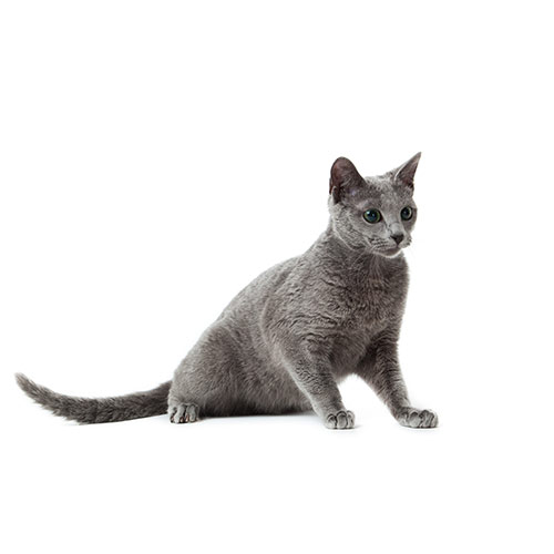 Cats answer: RUSSIAN BLUE