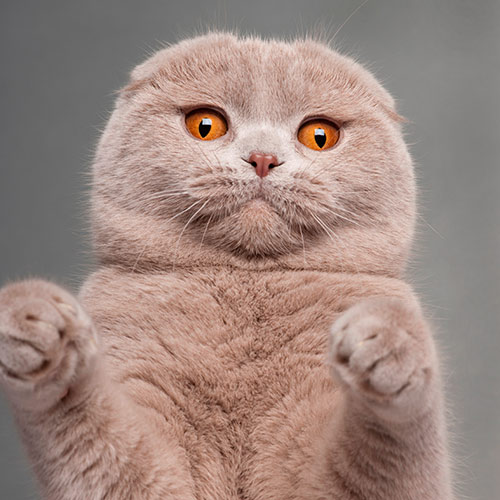 Cats answer: SCOTTISH FOLD